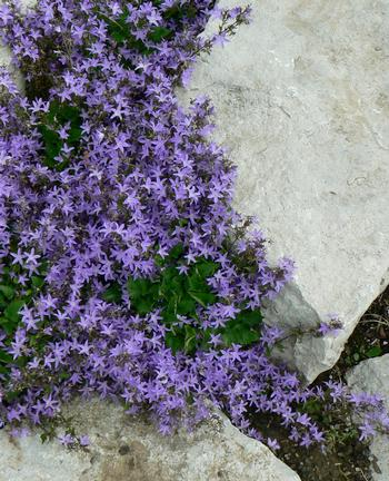 Campanula poschaarskyana 'Blue Waterfall'