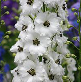 Delphinium New Millenium -  Black-Eyed Angels