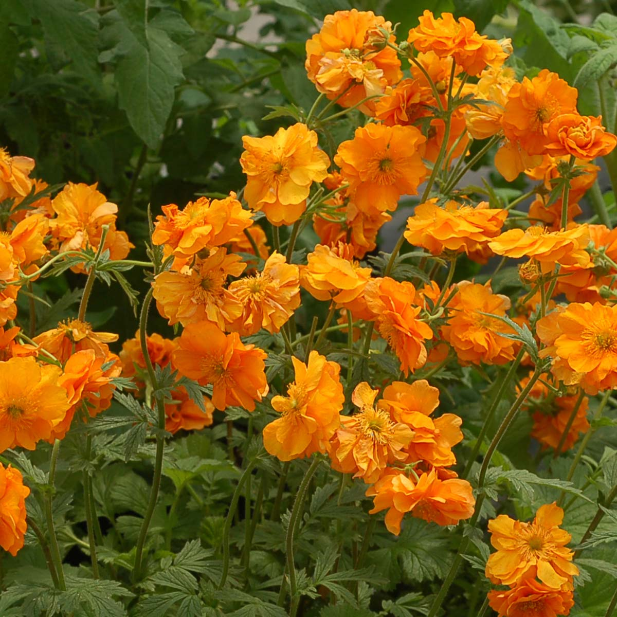 Geum 'Fire Storm'  NEW