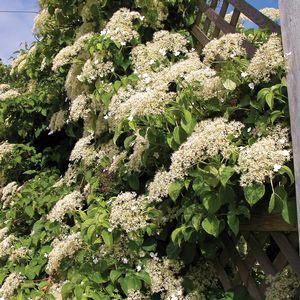 Geranium 39 ann folkard 39 - Hydrangea petiolaris ...