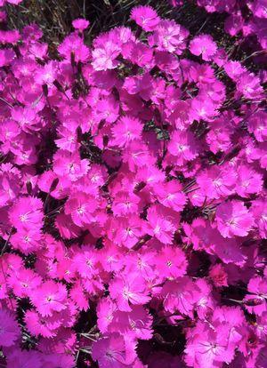 Dianthus Gratianopolitanus Firewitch